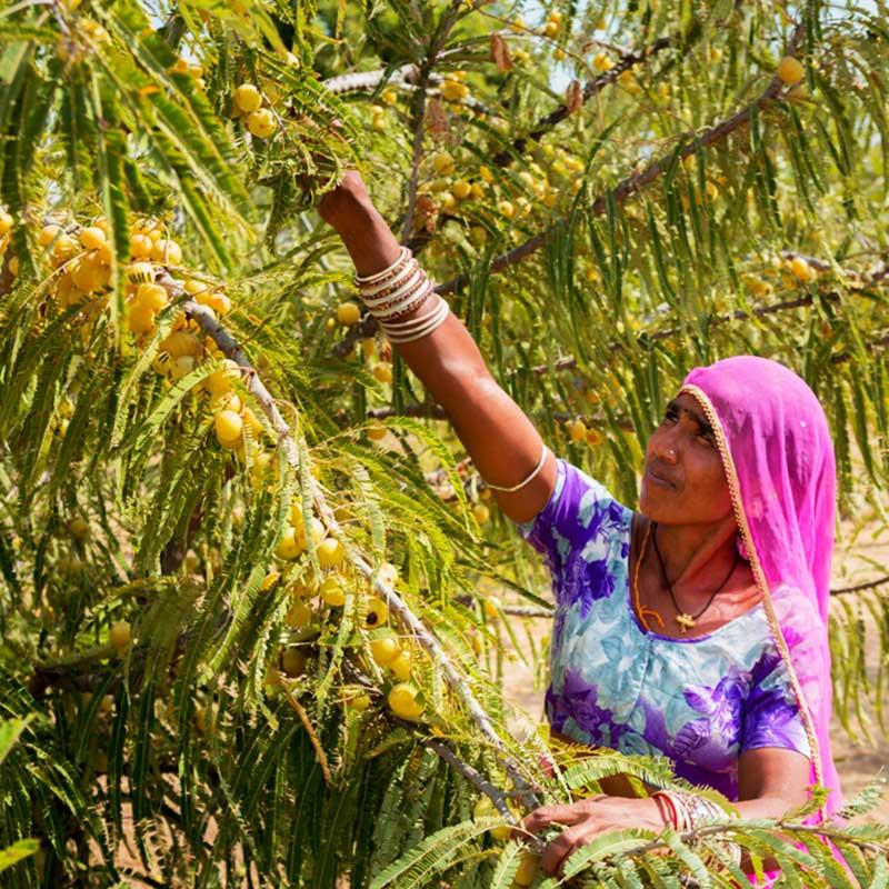 Amla Amalaki Indian Gosseberry Emblica officinalis žena bere plod sa drveta
