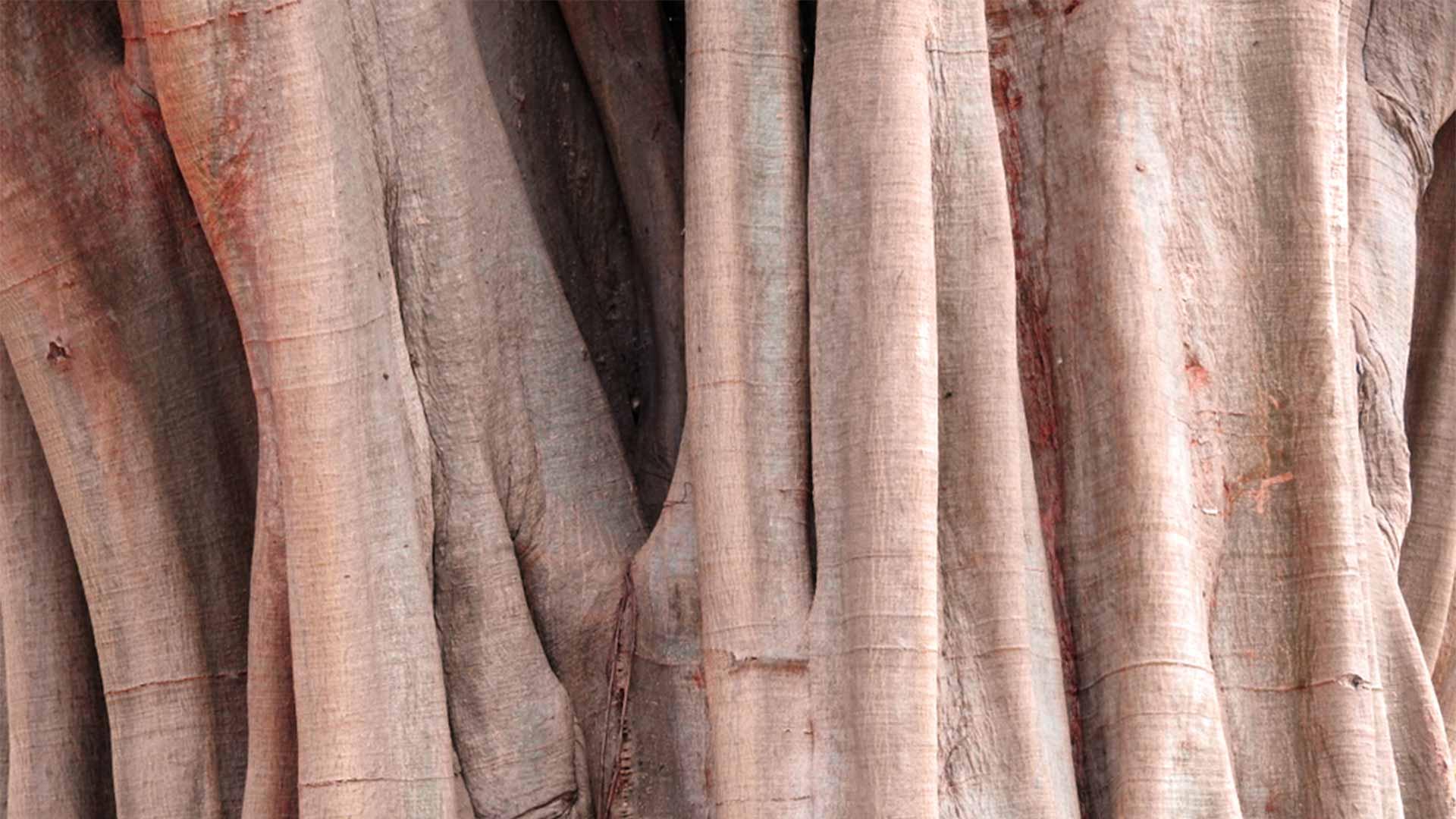 Arjuna drvo stablo kora
