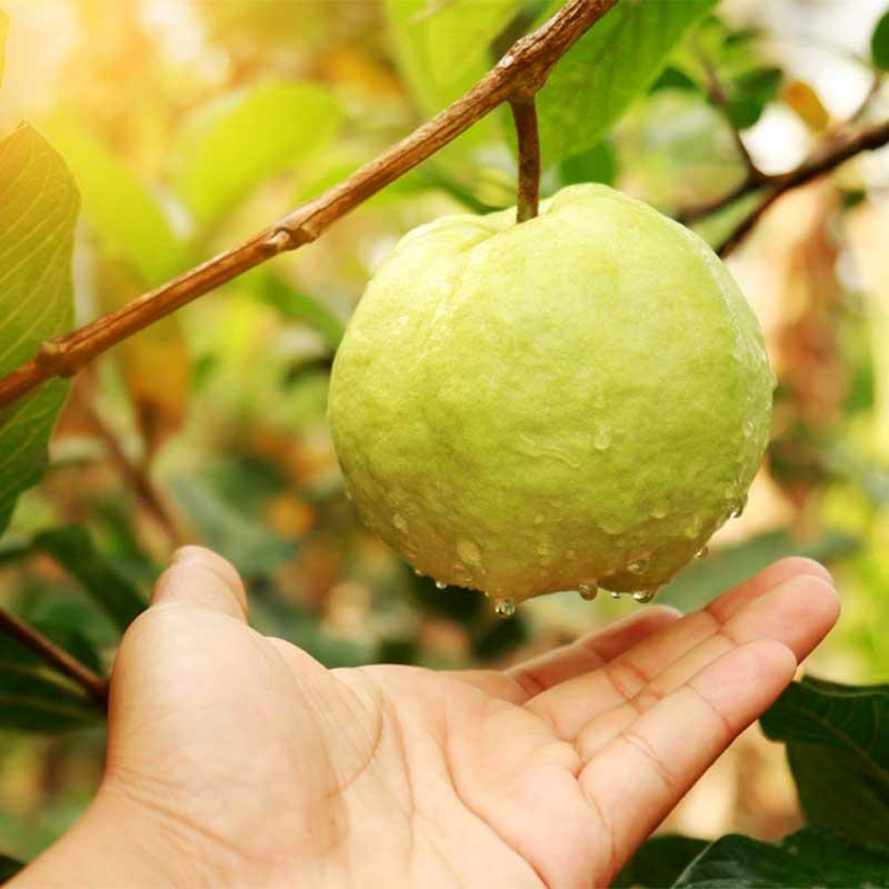 Guava Amrita patra Psidium gujava plod na gradi kapljice dlan