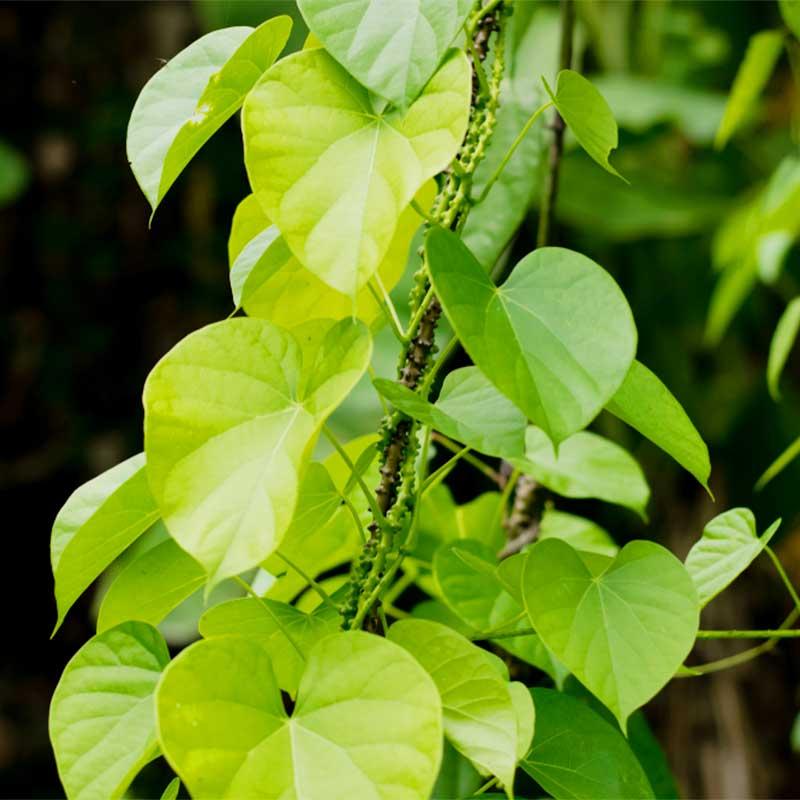 Guduchi Giloy Tinospora cordifolia stabljika i lišće u prirodi