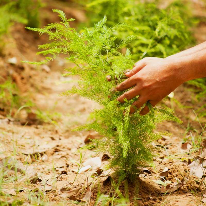 Shatavari Šatavari Indijska šparoga Asparagus racemosus u vrtu ruka branje