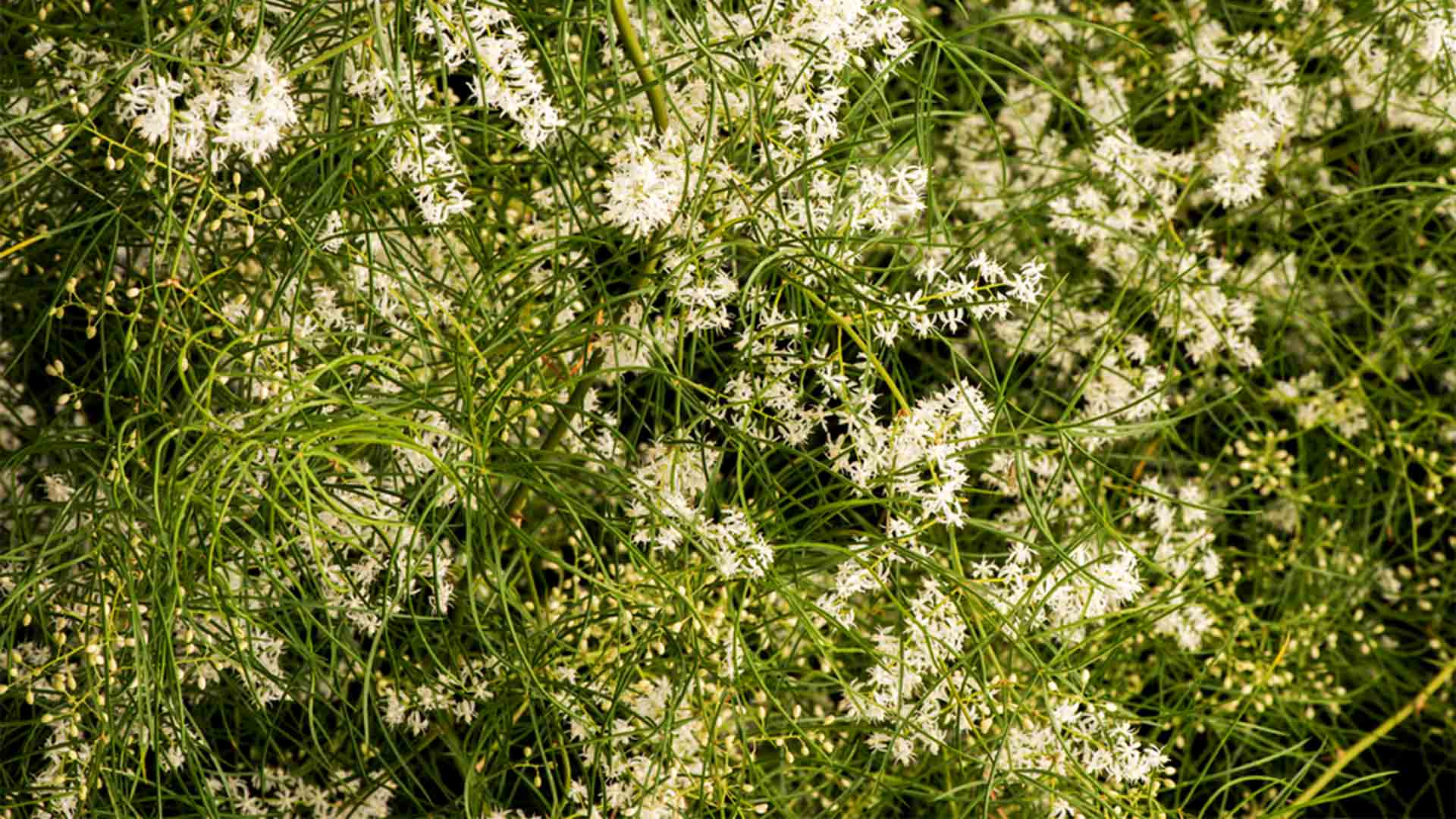 Shatavari Šatavari biljka cvijet