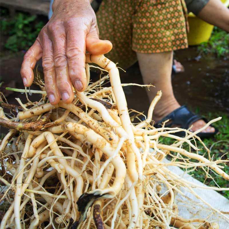 Sladić Yashtimadhu Slatki korijen Glycyrrhiza glabara pranje korijena u vrtu ruka starica