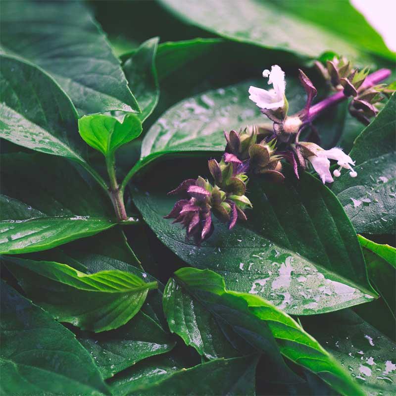 Tulsi Sveti bosiljak Ocimum sanctum ubran u prirodi lišće i cvijet