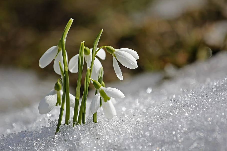 prelazak iz zime u proljeće, visibabe u snijegu